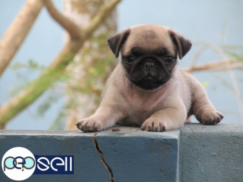 PUG PUPPY AVAILABLE AT TRIVANDRUM 2