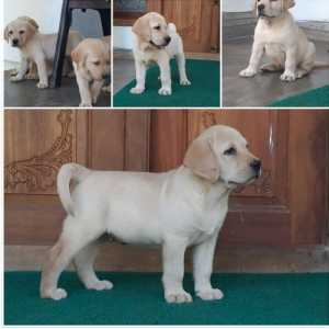 42 days old with kci lab puppy available in Thrissur