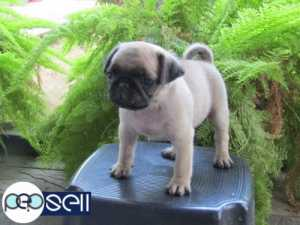 PUG PUPPY AVAILABLE AT TRIVANDRUM