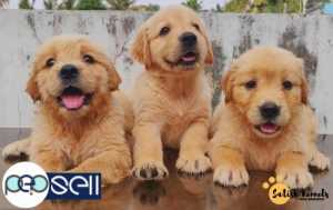Lhasa Apso Puppies For Sale Kottayam Free Classifieds