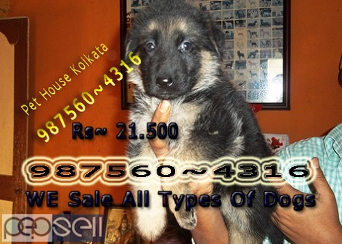 Awesome Show Quality GERMAN SHEPHERD Dogs Sale At ~ SILIGURI 0