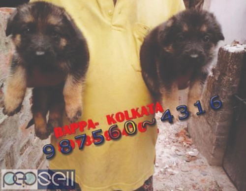 Awesome Show Quality GERMAN SHEPHERD Dogs Sale At ~ SILIGURI 1