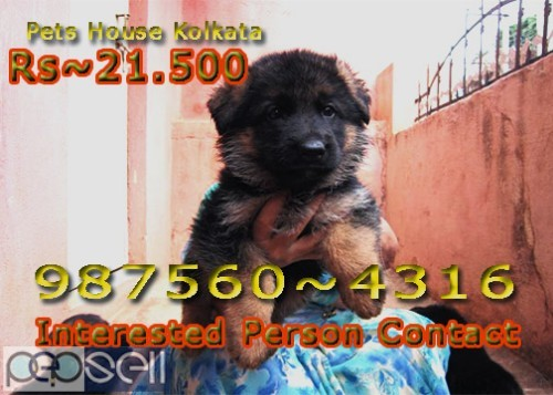 Awesome Show Quality GERMAN SHEPHERD Dogs Sale At ~ SILIGURI 2