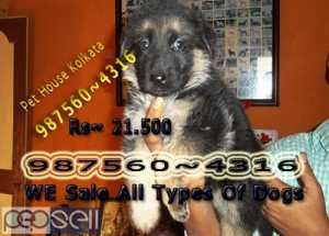 Awesome Show Quality GERMAN SHEPHERD Dogs Sale At ~ SILIGURI