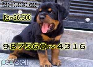 Imported Quality ROT WAILER dogs Available for Sale At ~ RAJARRHAT