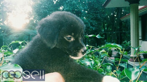 Cross breed puppies for sale 0