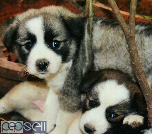 Cross breed puppies for sale 1