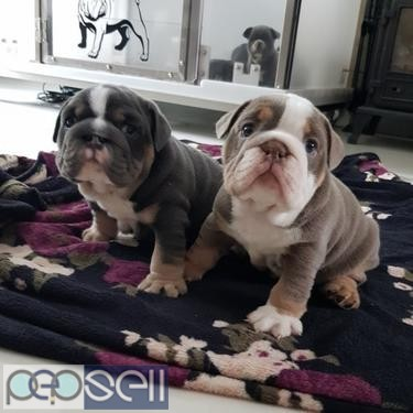kc reg English bulldog puppies for free adoption 0