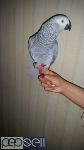 Hand Reared African Grey Parrots For Sale.  1