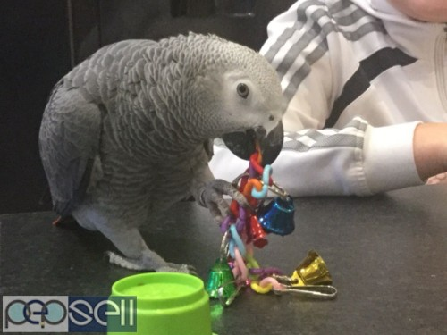 Hand Reared African Grey Parrots For Sale.  2
