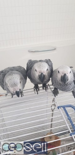 Hand Reared African Grey Parrots For Sale.  3