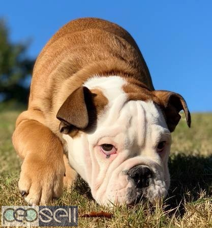 Wrinkled Face English Bulldog Puppies For Sale Abilene Free