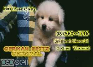 Show Quality GERMAN SPITZ Available For Sale At KOLKATA RAJARHAT
