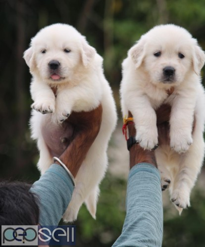 Golden retriever puppy healthy and active puppies 1