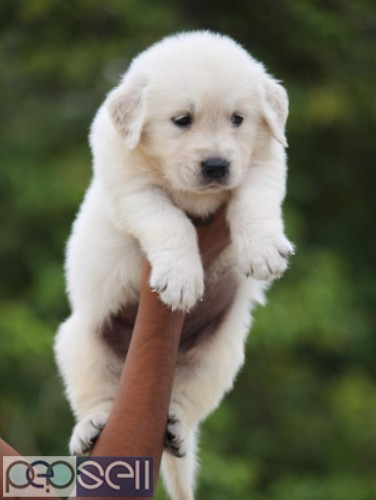 Golden retriever puppy healthy and active puppies 2