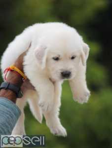 Golden retriever puppy healthy and active puppies