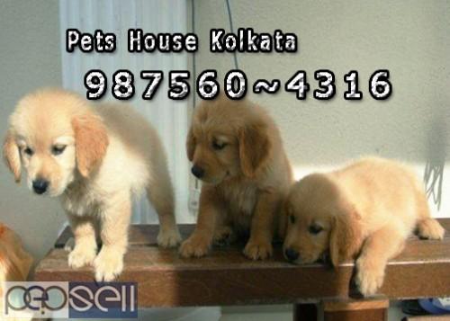 Champion Pedigree GOLDEN RETRIEVER Dogs Sale At  IMPHAL 0