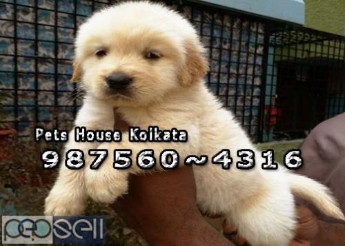 Champion Pedigree GOLDEN RETRIEVER Dogs Sale At  IMPHAL 1