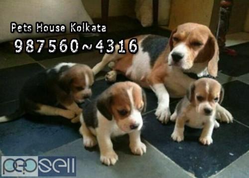 Champion Pedigree GOLDEN RETRIEVER Dogs Sale At  IMPHAL 4