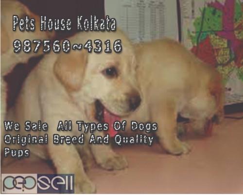 Champion Pedigree GOLDEN RETRIEVER Dogs Sale At  IMPHAL 5