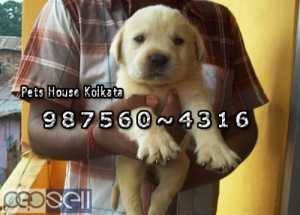 Champion Quality LABRADOR Dogs Pets sale At ~ SILIGURI