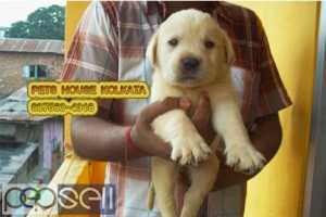Champion Quality Original LABRADOR Dogs Pets sale At KHARAGPUR