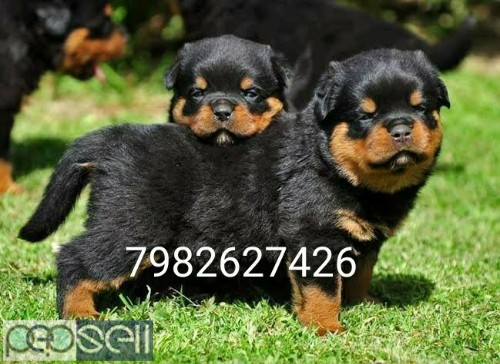 Rottweiler Heavy bone puppy's available.  0