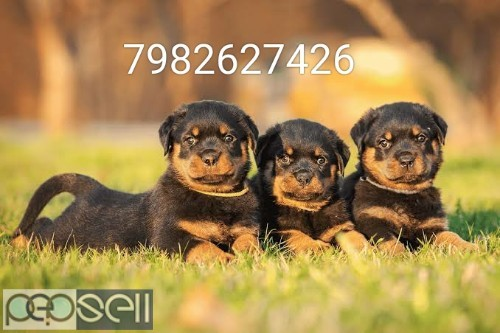 Rottweiler Heavy bone puppy's available.  1