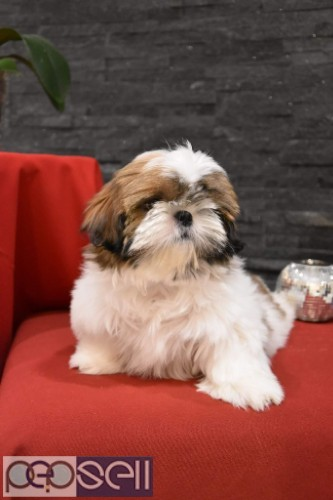 top quality shihtzu puppies for sale in bangalore 0