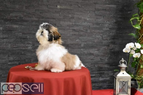 top quality shihtzu puppies for sale in bangalore 1