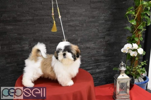 top quality shihtzu puppies for sale in bangalore 2