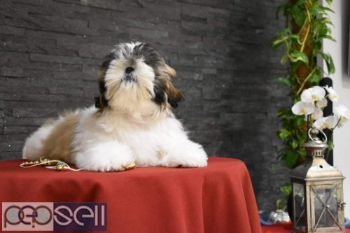 top quality shihtzu puppies for sale in bangalore 3