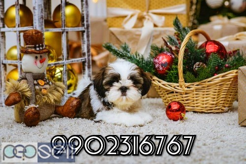 top quality shih tzu puppies for sale in bangalore 0