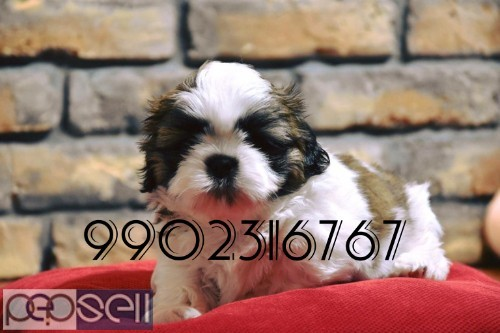 top quality shih tzu puppies for sale in bangalore 1