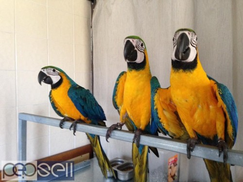 Two Blue and Gold Macaws for sale whats-app us 0