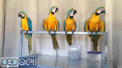 Two Blue and Gold Macaws for sale whats-app us 1