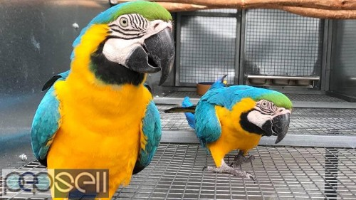 Two Blue and Gold Macaws for sale whats-app us 2
