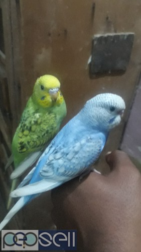 Home breed Budgies for sale 0
