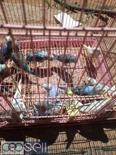 Home breed Budgies for sale 1