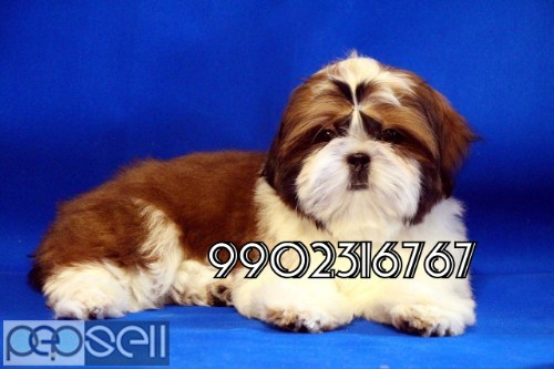 very outstanding quality shih tzu puppies for sale in bangalore 0