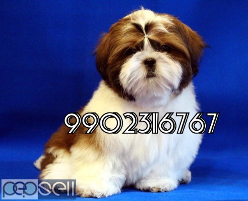 very outstanding quality shih tzu puppies for sale in bangalore 1