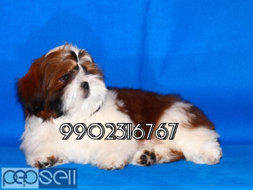 very outstanding quality shih tzu puppies for sale in bangalore 2