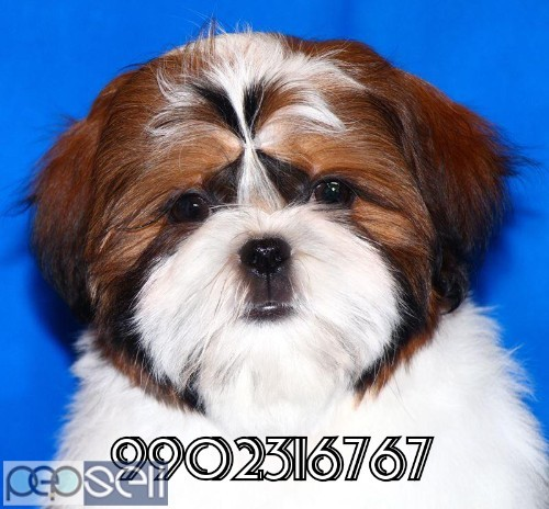 very outstanding quality shih tzu puppies for sale in bangalore 3