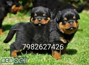 Rottweiler Heavy bone puppy's available.