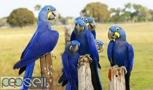 Hyacinth Macaw Parrots For Sale 0