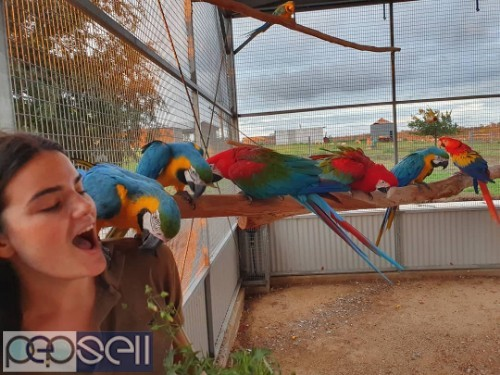 Hyacinth Macaw Parrots For Sale 1