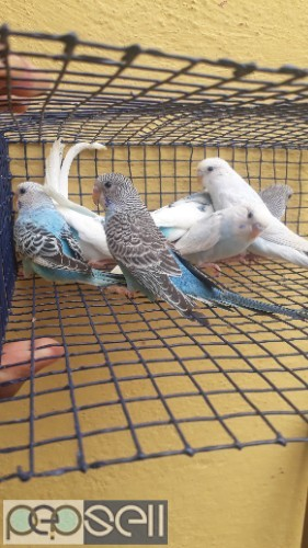 Home breed healthy lovebirds budgies for sale 1