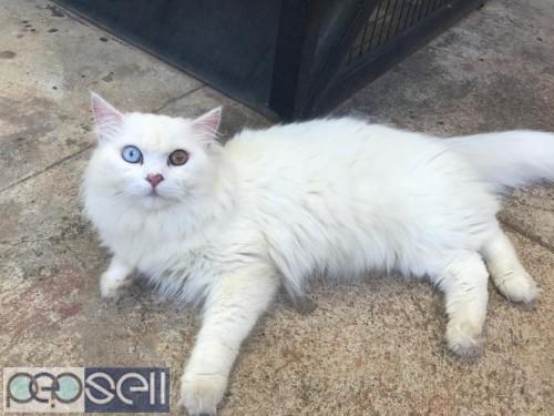 PERSIAN CAT ( RARE ) 0