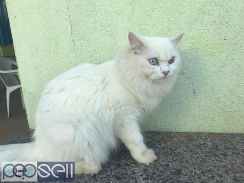 PERSIAN CAT ( RARE ) 1