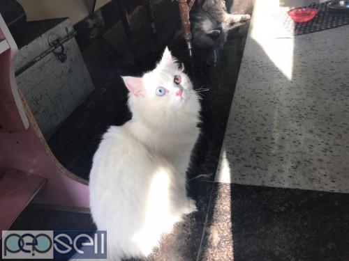 PERSIAN CAT ( RARE ) 2